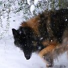 """"""" Winter Wolf """" by CanyonWind"""