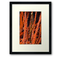 Ghost Pipefish, Kimbe Bay, Papua New Guinea Framed Print