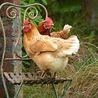 """We Are The """"CHAIRful"""" Chooks Of Tranquillity! Chooks  - NZ by AndreaEL"""