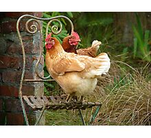 "We Are The ""CHAIRful"" Chooks Of Tranquillity! Chooks  - NZ Photographic Print"