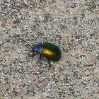 Dogbane Leaf Beetle, Probably.... by Navigator