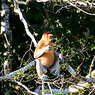 Proboscis Monkey by David McGilchrist
