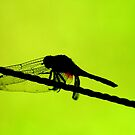 Dragonfly Silhouette by David McGilchrist