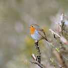 """"""" The Redbreast Song  """" by Richard Couchman"""
