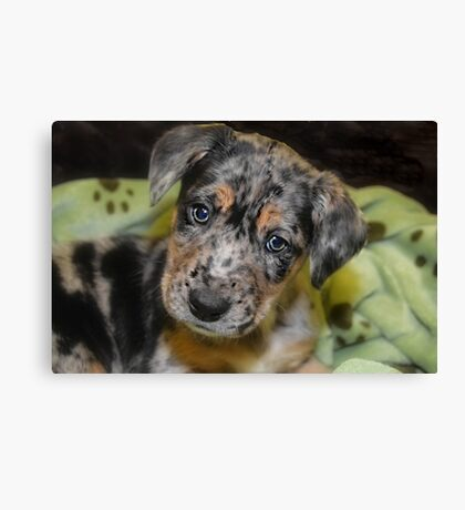BLUE MERLE AUSSIE MIX Canvas Print