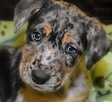BLUE MERLE AUSSIE MIX by Peggy Franz Animal and Rescue Photography