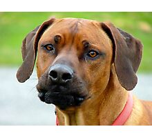 Aww.. You've Got Chooks Running Round Your Yard - Rhodesian Ridgeback - NZ Photographic Print