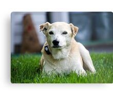 Lab Rescue Senior Metal Print