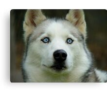 Look Into My Baby Blues!!! - Siberian Husky - NZ Canvas Print