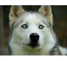 Look Into My Baby Blues!!! - Siberian Husky - NZ Photographic Print