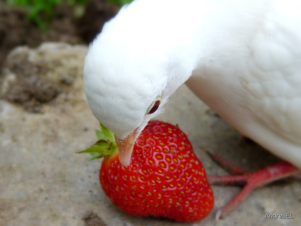 It's A Strawberry Affair I'm Having - White Dove - NZ by AndreaEL