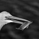 Great White Egret with Fish by TJ Baccari Photography