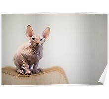 Sphynx Cat Blue Eyes Poster