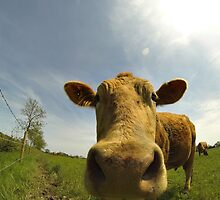 Cow close up by Sumseraliw