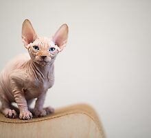 Sphynx Cat Blue Eyes by reejasp