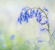 English Bluebell by Jacky Parker
