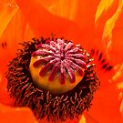 The Heart of The Poppy by dunawori