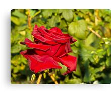 Beautiful red rose 2 Canvas Print