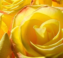 Bright yellow roses 3 Sticker
