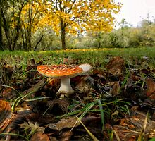 Amanita Fall Colors by Charles & Patricia   Harkins ~ Picture Oregon
