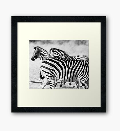 Zebra in black and white  Framed Print