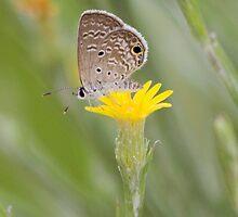 Ceraunus Blue (Hemiargus ceraunus) by Liam Wolff
