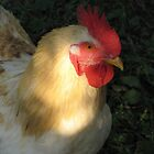 Rooster by Parafull