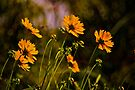 Orange Daisy  by LudaNayvelt