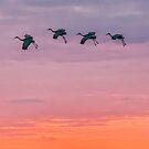 Sandhill cranes at sunset by Joe Saladino
