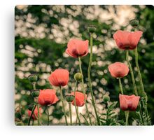Pink Poppy in late everning light Canvas Print