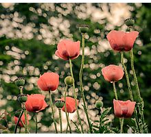 Pink Poppy in late everning light Photographic Print