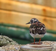 Turnstone by Sue Purveur