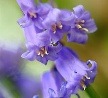 Blue Bells by CBoyle
