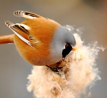 Bearded Tit by CBoyle