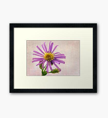 Wild Aster Blossom - Macro  Framed Print