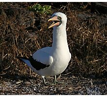 Nazca Booby Photographic Print