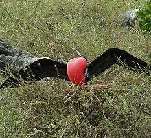 Male Frigate Bird by dare2go