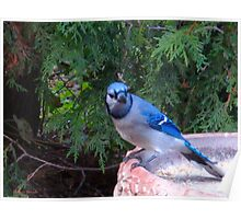 Blue Jays and Peanuts, in the garden and the game! Poster