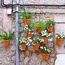 Pots Of White Petunias by Fara
