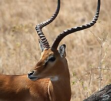 Male Impala. Tanzania. by Carole-Anne