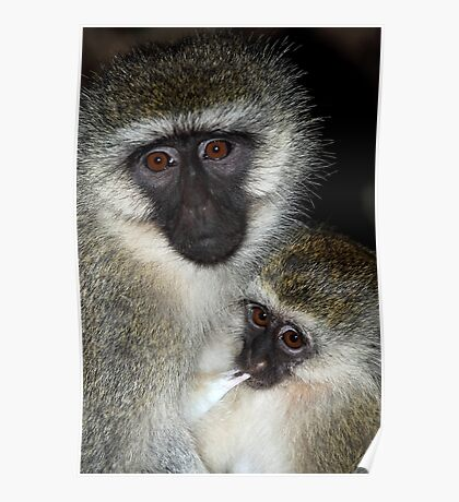 Primate - Black-faced Vervet Monkey, Kenya.  Poster