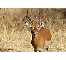 Impala buck Photographic Print