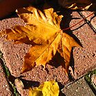 Fallen Maple Leaf by BlueMoonRose