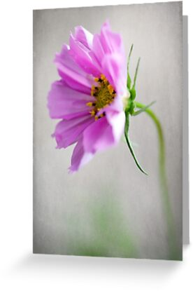 Softly Cosmos by Clare Colins