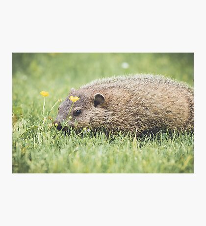 Baby Groundhog in the grass and buttercup field Photographic Print