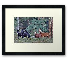 Brumby Mares with foals Framed Print