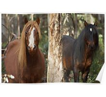 Two Brumby Stallions Poster