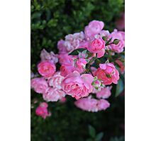 Pink Roses Flowers Photographic Print
