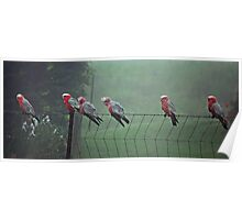 Galah's on a Fence Poster