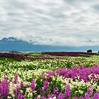 Pink and yellow field by Frank Olsen